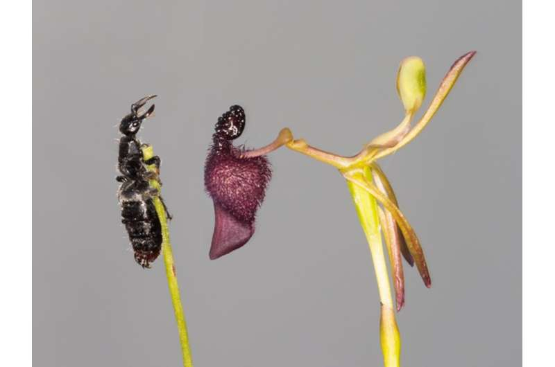 Warty hammer orchids are sexual deceivers