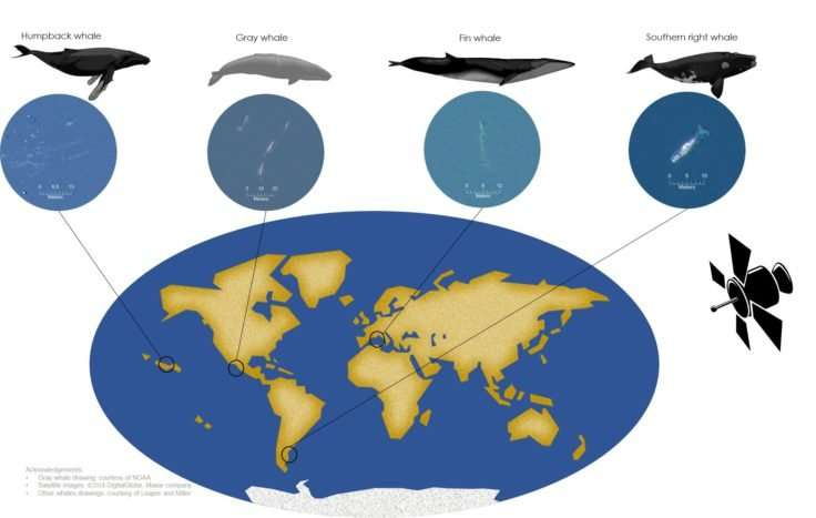 Watching whales from space