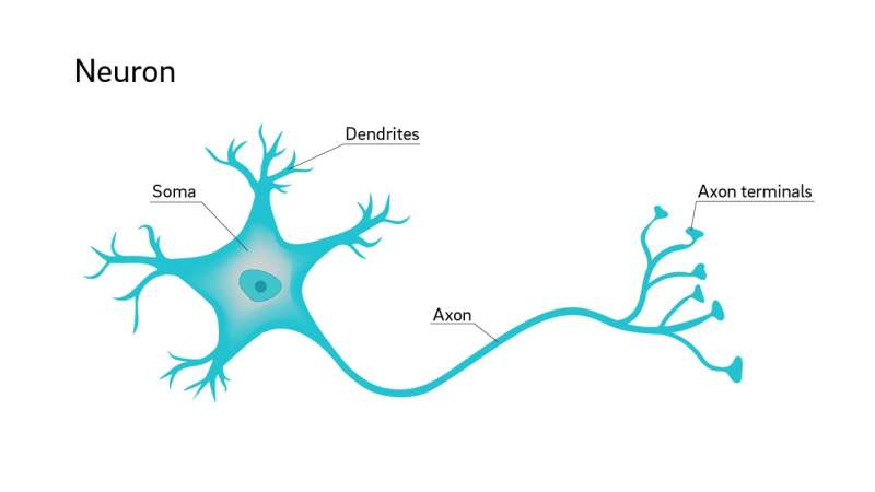 Why are neuron axons long and spindly? Study shows they're optimizing signaling efficiency