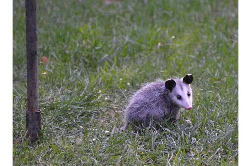 Climate change, urbanization driving opossum's northward march
