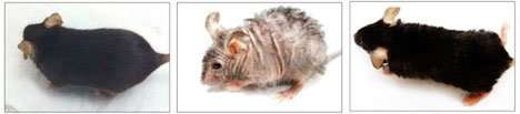 Scientists reverse aging-associated skin wrinkles and hair loss in a mouse model