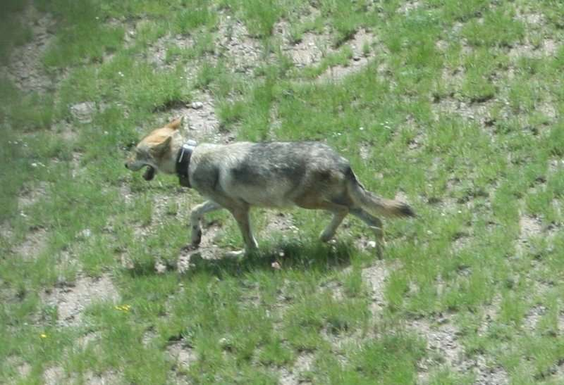 Genetics research verifies purity of the Mexican wolf