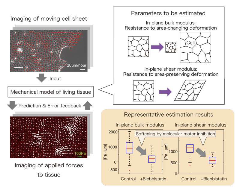 Measuring the hardness of living tissues without damage