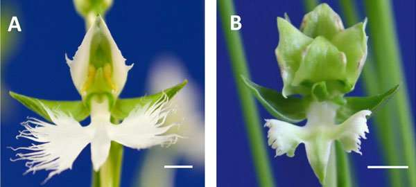 Mechanism behind orchid beauty revealed