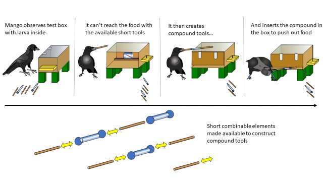 New Caledonian crows can create tools from multiple parts