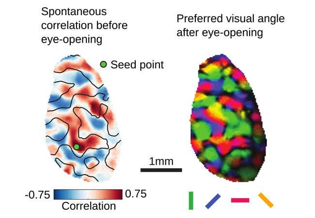 Surprising network activity in the immature brain