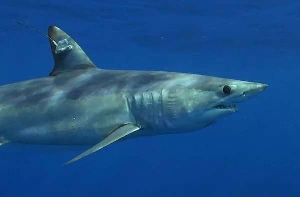Tagged shortfin mako shark has ocean journey cut short