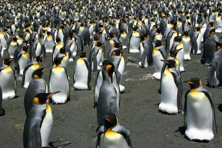 Global warming is on track to wipe out 70% of the world's King penguins by century's end, putting the regal birds on a path towa