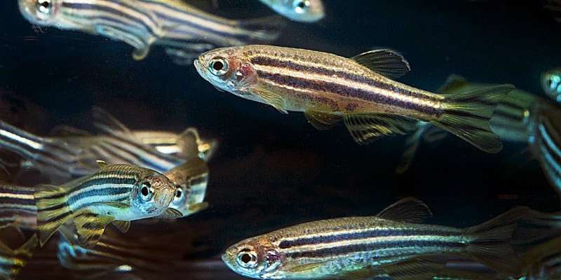 Scientists find malformations and lower survival rates in zebrafish embryos exposed to cannabinoids