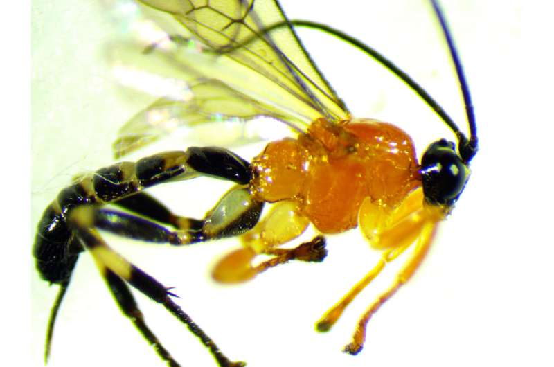 Newly discovered wasp turns social spiders into zombies