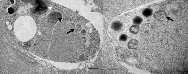 Researchers capture first representative of most abundant giant viruses in the sea