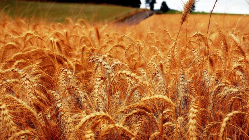 Researchers seek to make wheat fungus a thing of the past