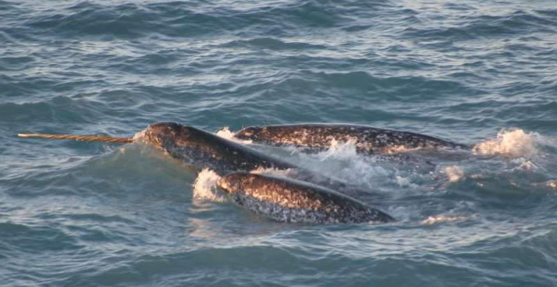As Arctic ship traffic increases, narwhals and other unique animals are at risk