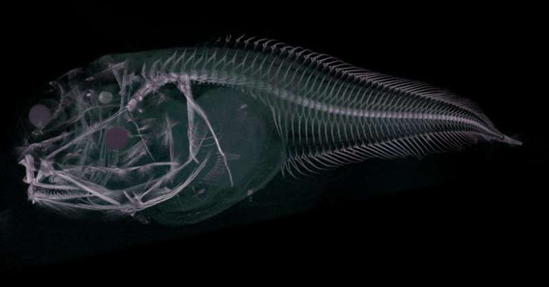 Three new species of fish discovered in the extreme depths of the Pacific Ocean