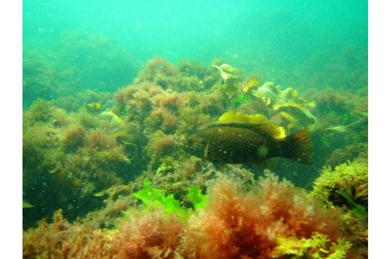Researchers find invasive seaweed makes fish change their behavior