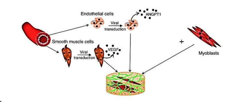 Genetically engineered 3D human muscle transplant in a murine model
