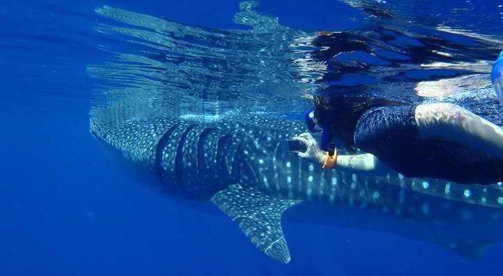 Investigations of prey patterns fail to explain why whale sharks aggregate off the coast of Saudi Arabia