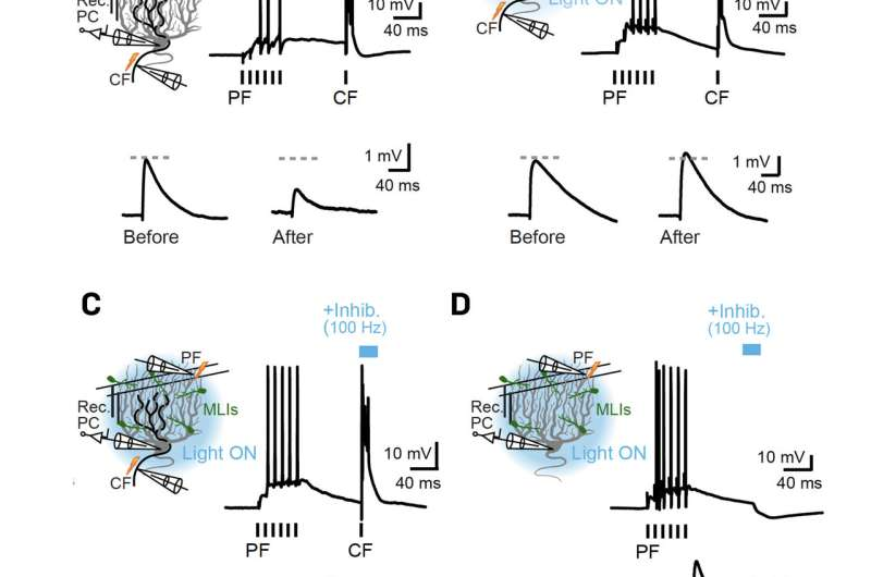 Newly identified role for inhibition in cerebellar plasticity and behavior