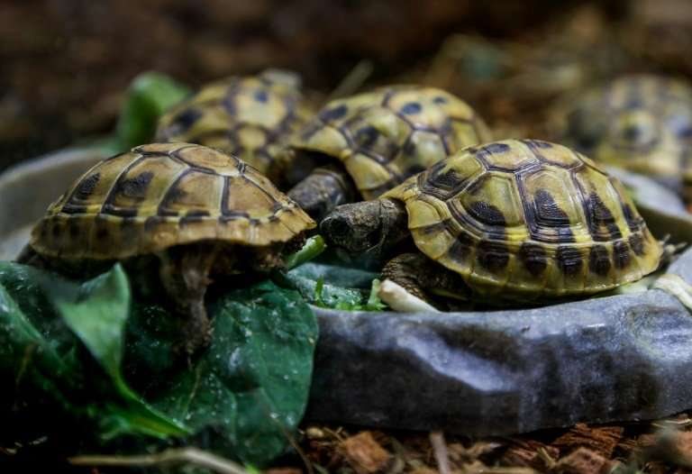 """The International Union for Conservation of Nature classifies the Hermann turtle as """"near threatened"""" on its Red List"""