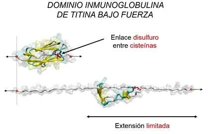 Scientists identify a key mechanism regulating a protein required for muscle and heart function
