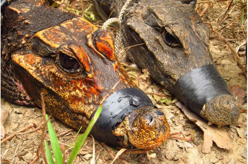 Strange orange cave dwelling African dwarf crocodiles could be evolving into a new species