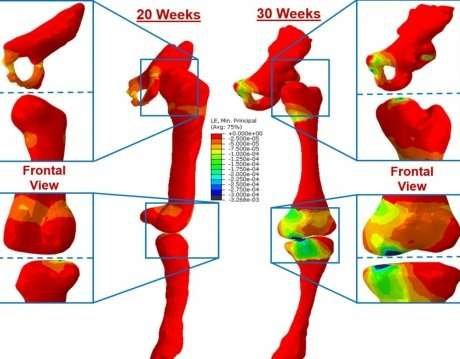 First study of its kind shows how foetal strength changes over time