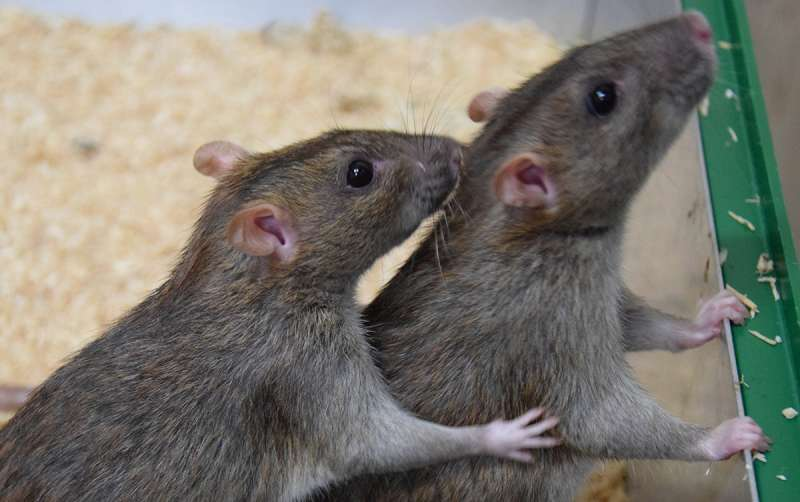 Rats help each other out just as humans do