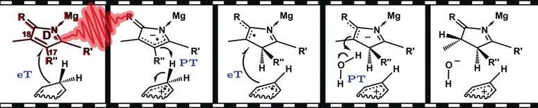 Stepwise hydride transfer in the biosynthesis of chlorophyll