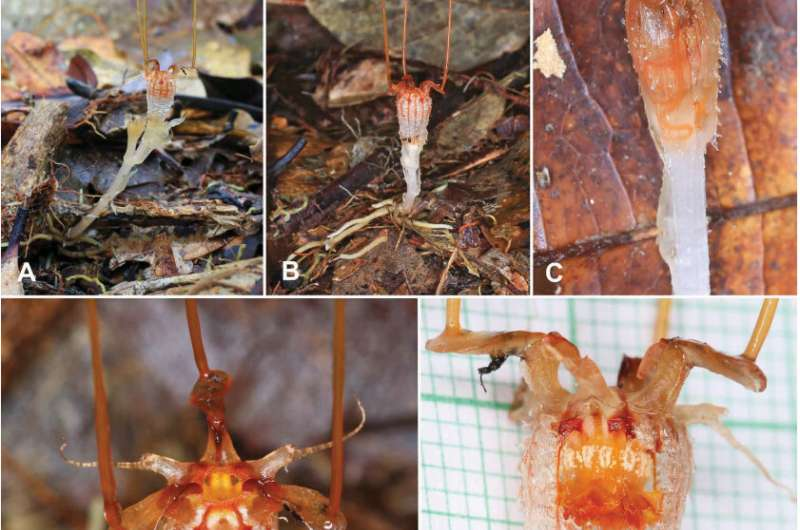 Tropical plant rediscovered after 150 years