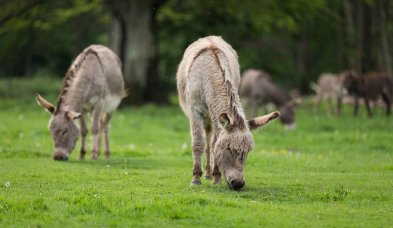Genome assembly of donkey reveals clues on how it may have branched from horse