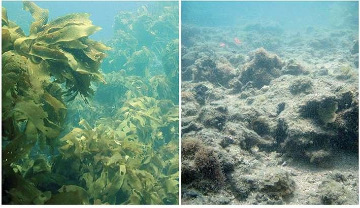 Weeds take over kelp in high CO2 oceans
