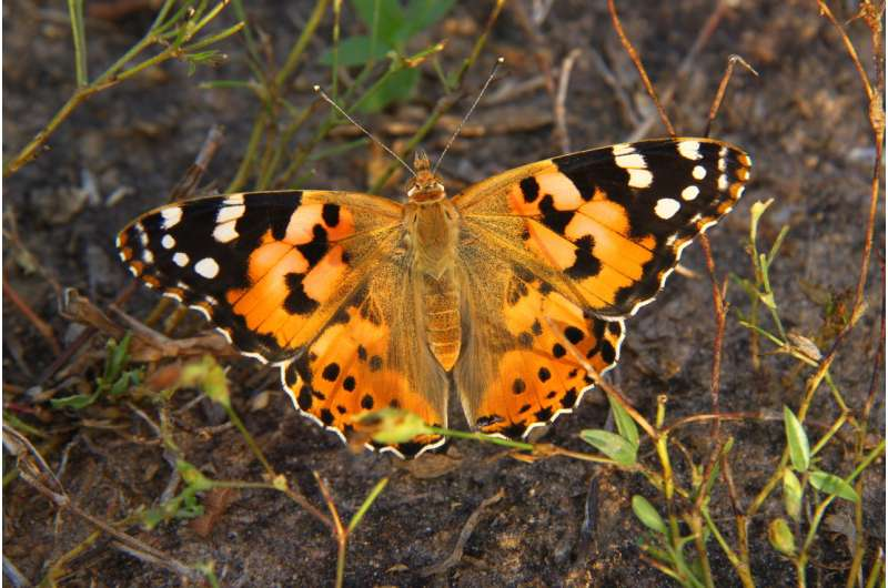 Painted lady's roundtrip migratory flight is the longest recorded in butterflies