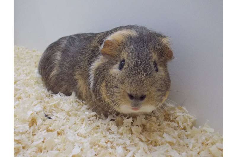 Fight or flight? Sexual cycle determines the behaviour of female guinea pigs