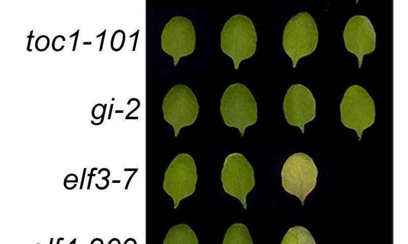 A conversation between plants' daily and aging clocks