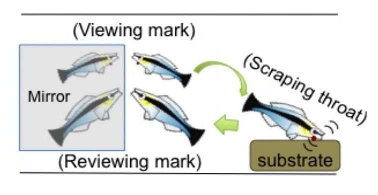 Small fish passes classic self-awareness test