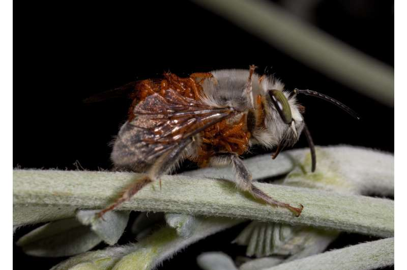 Study shows how beetle larvae adapt to different bee hosts
