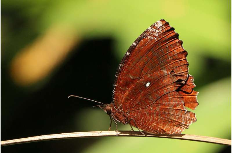 Pigments in butterfly wings lead scientists to colorful conclusions