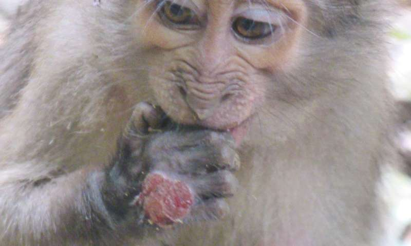 Wild African monkeys infected with the bacterium causing yaws in humans