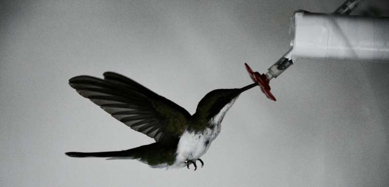Engineers study hovering bats and hummingbirds in Costa Rica