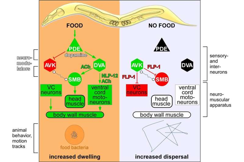 Is foraging behaviour regulated the same way in humans and worms?
