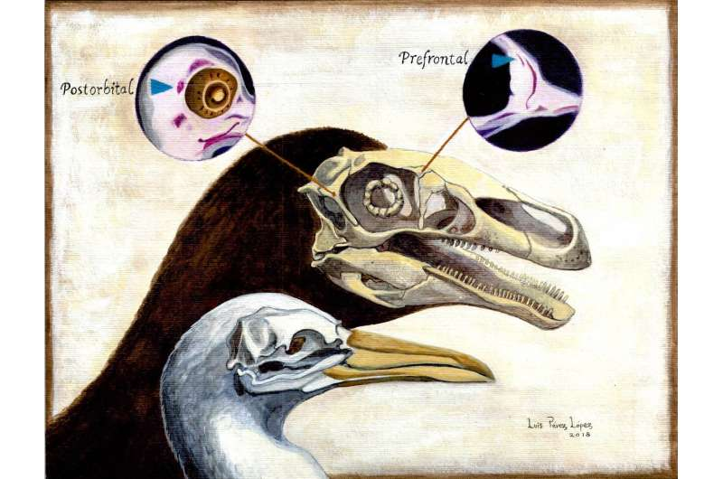 Embryological study of the skull reveals dinosaur-bird connection