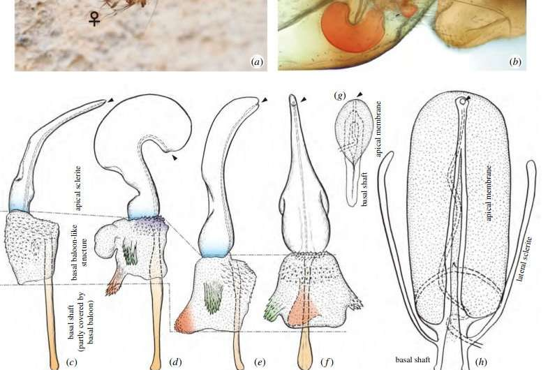 **Researchers find evidence of independent evolution of female penis in cave insects