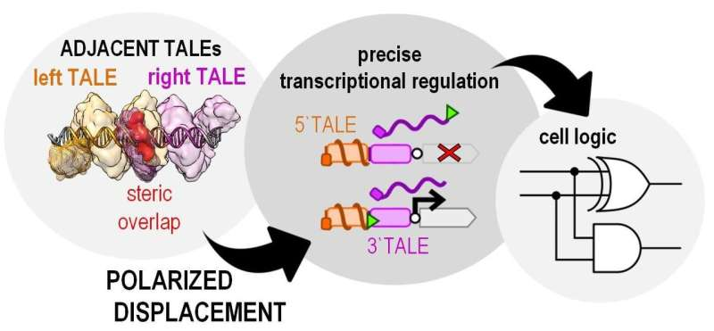 New tricks of TALEs: discovery of a new principle of gene regulation by molecular displacement