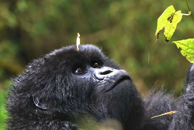 Learning from gorillas to save killer whales