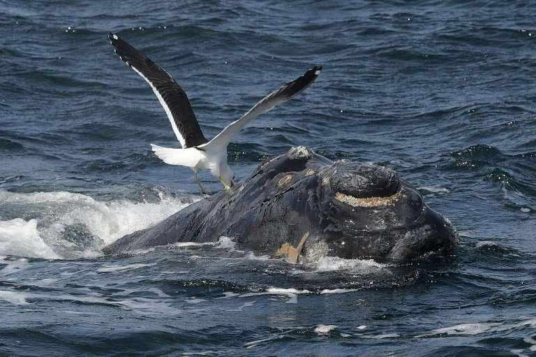 """The International Whale Commission's """"Florianopolis Declaration"""" sees whaling as no longer being a necessary economic"""