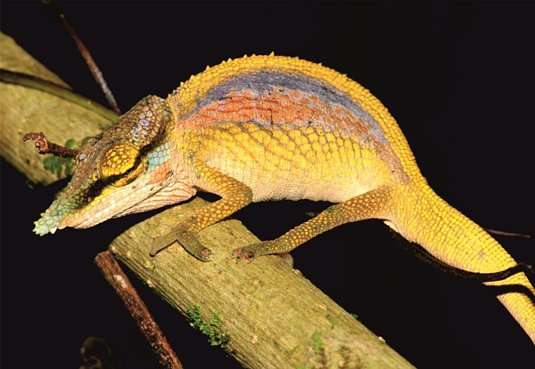 Researchers discover three new, highly threatened chameleon species in Madagascar