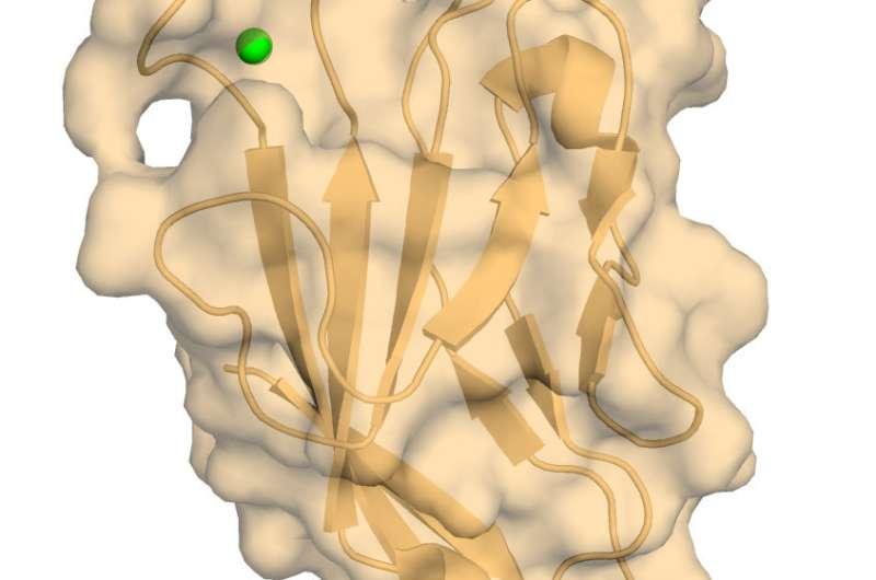 Researchers image atomic structure of important immune regulator