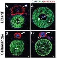 When it comes to regrowing tails, neural stem cells are the key