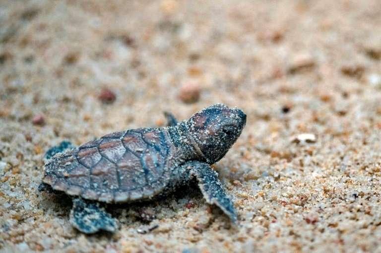A baby hawksbill turtle at Tanjong Beach in Sentosa island