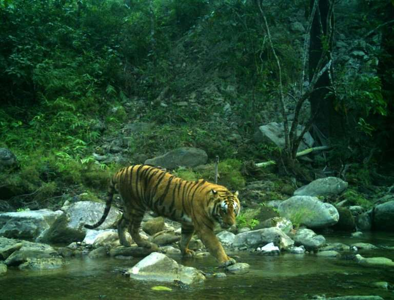 A Bengal tiger in Nepal's Bardia National Park is captured in a camera trap